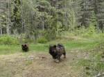 """Loka och """"björnungen"""" Lolita"""